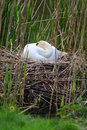 Swan sleeping nest white in the reeds Royalty Free Stock Photo