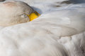 Swan sleeping white with beak under it s wing Stock Images