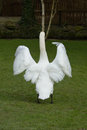 Swan stretching his wings Royalty Free Stock Photo