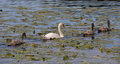 Swan stroll parent with baby swans swimming in a lake with water lilies leaves Royalty Free Stock Photos