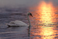 Swan on Sunset Lit Water Royalty Free Stock Photo