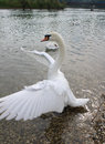 Swan swans are birds of the family anatidae within the genus cygnus the swans close relatives include the geese and ducks swans Royalty Free Stock Image