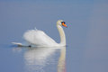 Swan swimming in clear blue water Royalty Free Stock Photography