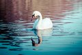 Swan swimming in the lake at sunset Stock Image