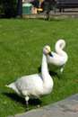 Swan two white swans sitting on grass Royalty Free Stock Images