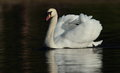 Swan view of a against a dark watery background Stock Images