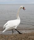 Swan walking on the shore white with open beak imposingly walks along Royalty Free Stock Photos
