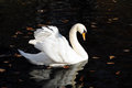 Swan white floating on dark water lit by the sun Royalty Free Stock Photo