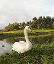 Swan white on the pond Royalty Free Stock Photo