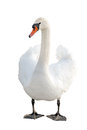Swan Royalty Free Stock Photo