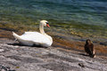 Swan and wild duck the at lakeside of lucerne Stock Image