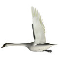 Swan wings up the is from a genus of waterfowl and is among the largest flying birds Royalty Free Stock Photo