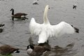 Swan wingspan demanding his presence be felt is a at straws bridge ilkeston Stock Photography