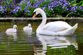 Swan and young Royalty Free Stock Photo