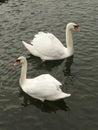 Swanful Symmetry Royalty Free Stock Photo