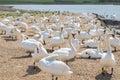 Swans at Abbotsbury Dorset Royalty Free Stock Photo