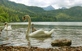 Swans of alpsee lake grace the just below the castles neuschwanstein and hohen schwangau germany photo taken august Stock Photos