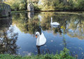 Swans on beautiful lake Royalty Free Stock Image