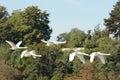 Swans bird animal nature Royalty Free Stock Photo