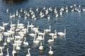 Swans bird animal nature Stock Photos