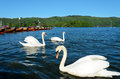 Swans at Bowness on Windermere Stock Images