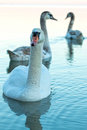 Swans close up of a at evening light Royalty Free Stock Image