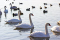 Swans and ducks flock river wisla Stock Photo