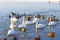 Swans and ducks flock river wisla Royalty Free Stock Photos