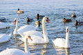 Swans and ducks flock river wisla Stock Photography