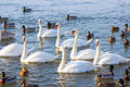 Swans and ducks flock river wisla Stock Images