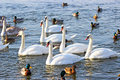 Swans and ducks flock river wisla Royalty Free Stock Images