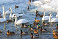 Swans and ducks flock river wisla Stock Photos