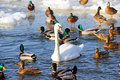 Swans and ducks flock river wisla Royalty Free Stock Photo