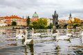 Swans and ducks near Charles Bridge in Prague Royalty Free Stock Photo