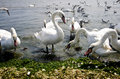Swans eating Stock Images