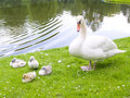 Swans family Stock Photos