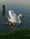 Swans family beautiful on a local pond in koncanica nearby daruvar croatia my hometown photographed at spring late afternoon Stock Photo