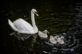 Swans family on their first swim Stock Photos