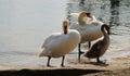 Swans family by trasimeno lake tuscany italy in july Royalty Free Stock Photos