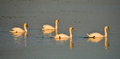 Swans in formation at hockwold washes norfolk Stock Image