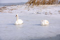Swans on frozen lake Stock Images