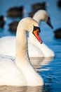 Swans on the lake with blue water background Stock Photo