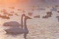 Swans lake fog winter sunset Royalty Free Stock Photo