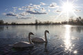 Swans in lake two swimming a half frozen jarun zagreb croatia Stock Photo