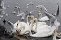 Swans in the lake white garden uk Stock Photos
