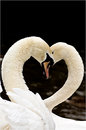 Swans And Love