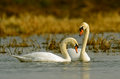 Swans are in a natural habitat Stock Photos