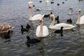Swans och många Black Sea änder som svävar i havet Royaltyfria Bilder