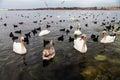 Swans och många Black Sea änder som svävar i havet Royaltyfri Bild