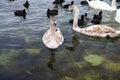 Swans och många Black Sea änder som svävar i havet Arkivfoto